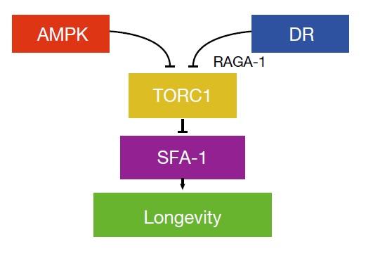 sfa-1-mechanism