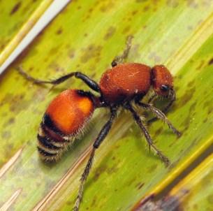 Velvet Ant_179983477_l
