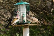 How the Woodies feed!
