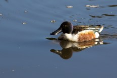 Male Northern Shoveler