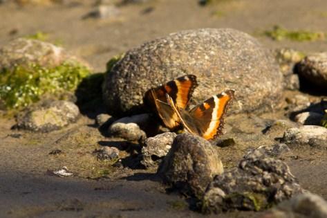 Milbert's Tortoiseshells on the mudflats