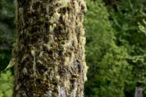 Epiphytic growth on a fir.