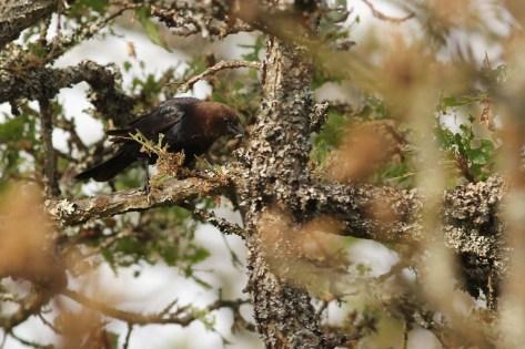Many species of birds were feeding on very abundant caterpillars on the Garry Oaks.