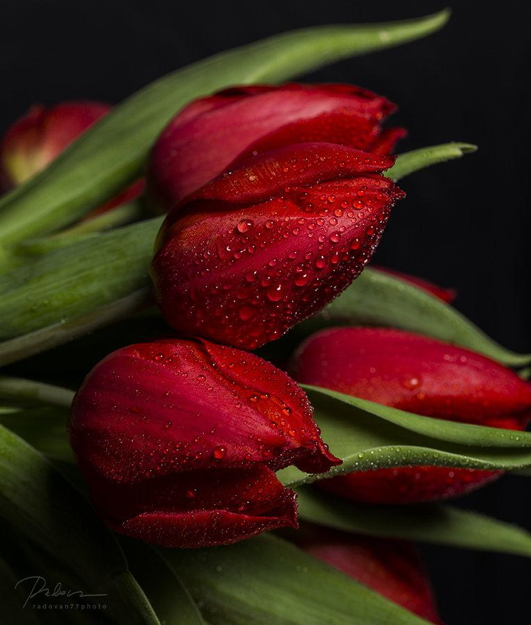 тюльпани_Т