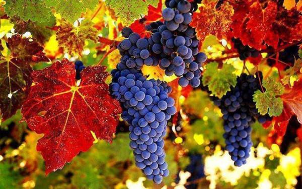 виноград_916-1