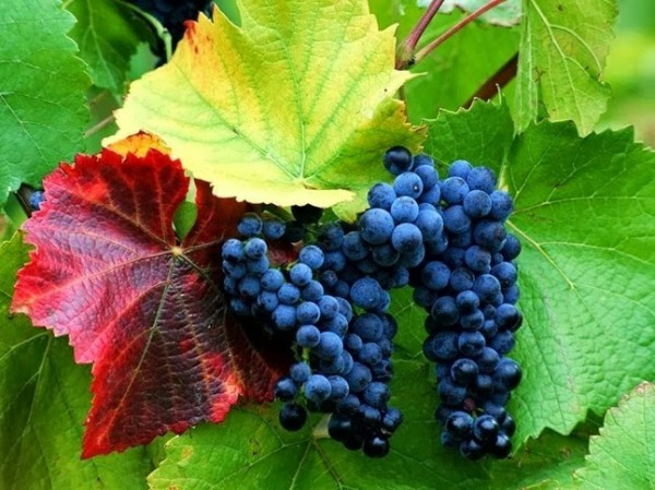виноград_924-1