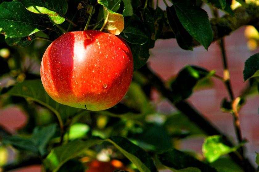 apple-tree-429213_1280.jpg