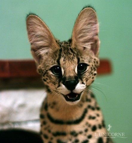 Кошка Сервал Цена Фото