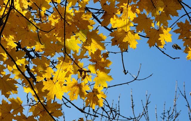 Осенний клён