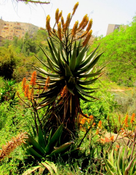 Aloe ferox IMG_8014