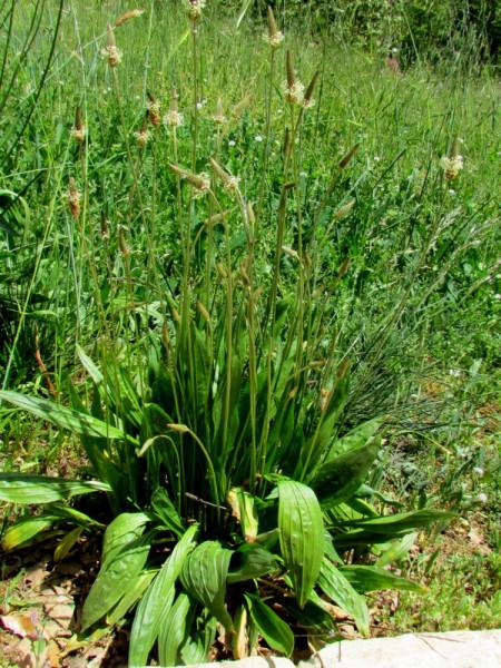 Plantago lagopus IMG_8081