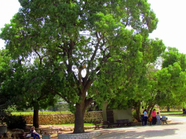 Fraxinus  syriaca IMG_7766