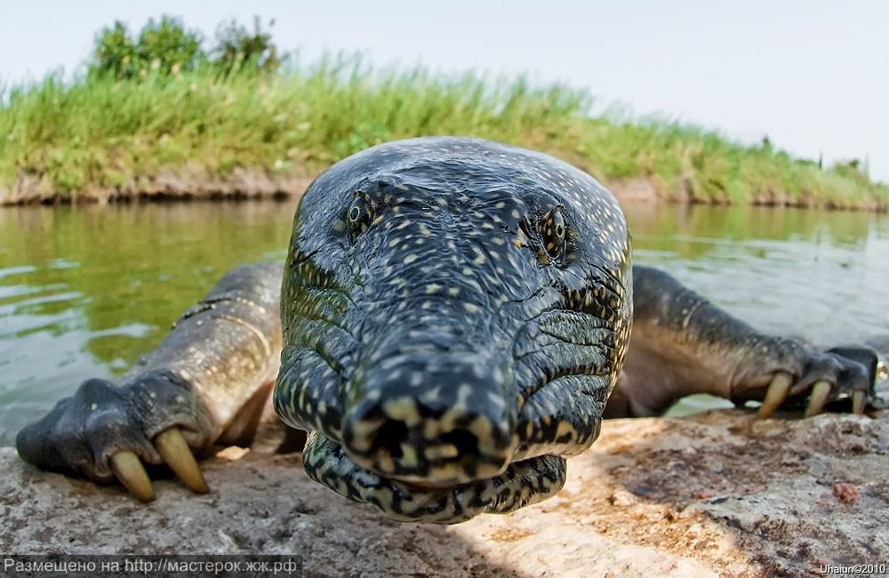 Большая мягкотелая черепаха. Китайский хищник — мягкотелая черепаха трионикс