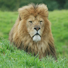 spike-african-lion-4727