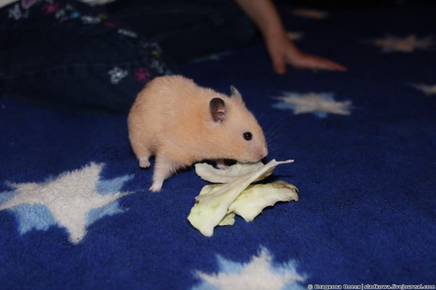 cum să mi ajuți hamsterul să piardă în greutate