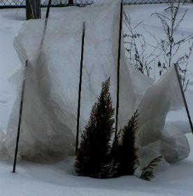 Надо ли укрывать на зиму вереск