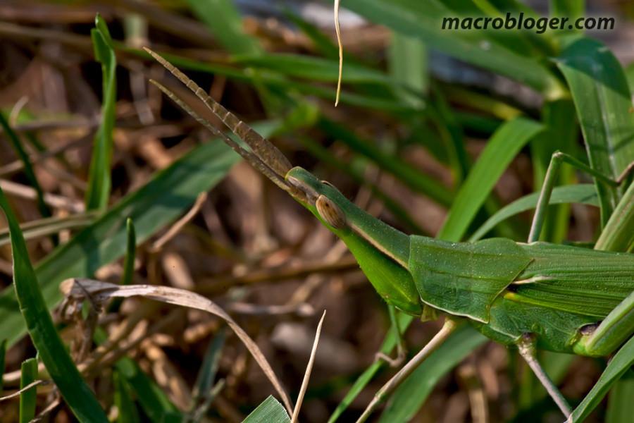 Akrid (akrida bicolor)