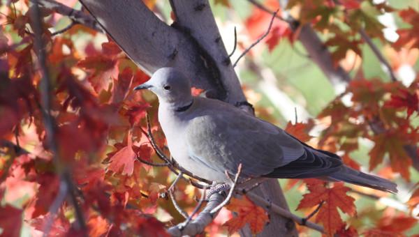 Birds and autumn foliage 009