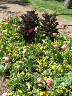 Photo of pink tulips and yellow pansies