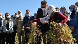 Erzurum'da İspir fasulyesinin hasadına başlandı