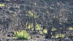 Bodrum'daki yangının ardından doğa kendini onarmaya başladı