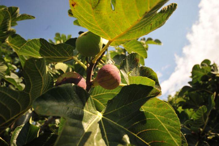 bursa siyahi inciri dunya pazarina ihrac ediliyor 83913