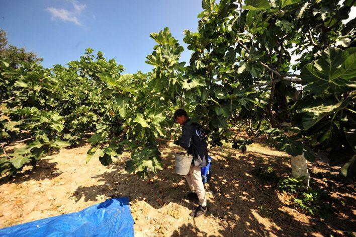 bursa siyahi inciri dunya pazarina ihrac ediliyor 87523