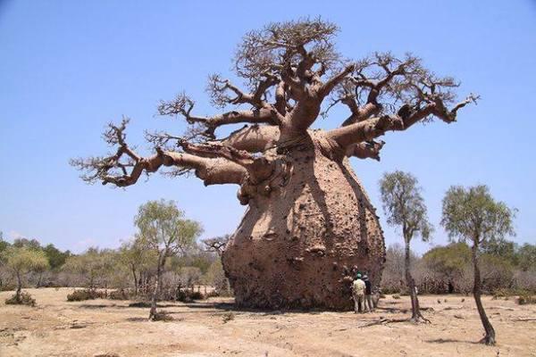 Toboroçi ağacını diğer ağaçlardan ayıran özellik nedir