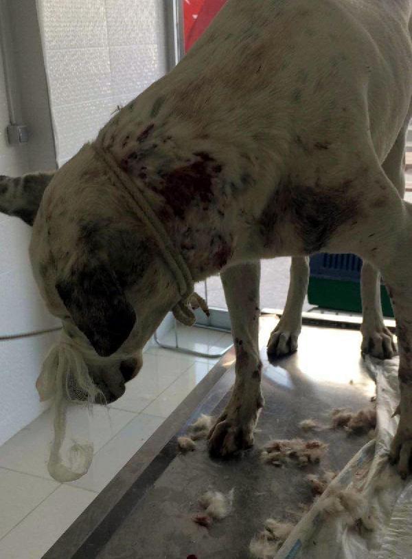 Sokak köpeği av tüfeğiyle vurularak yaralandı