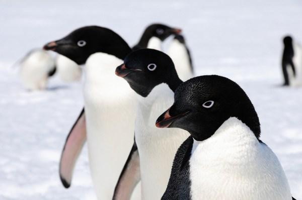 Penguenler 14 bin yıldır Antarktika'da