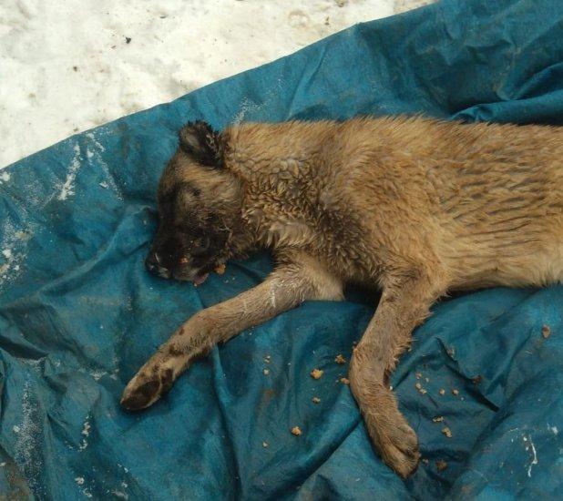Kahramanmaraş'ta köpek ve vahşi hayvanlar zehirlendi
