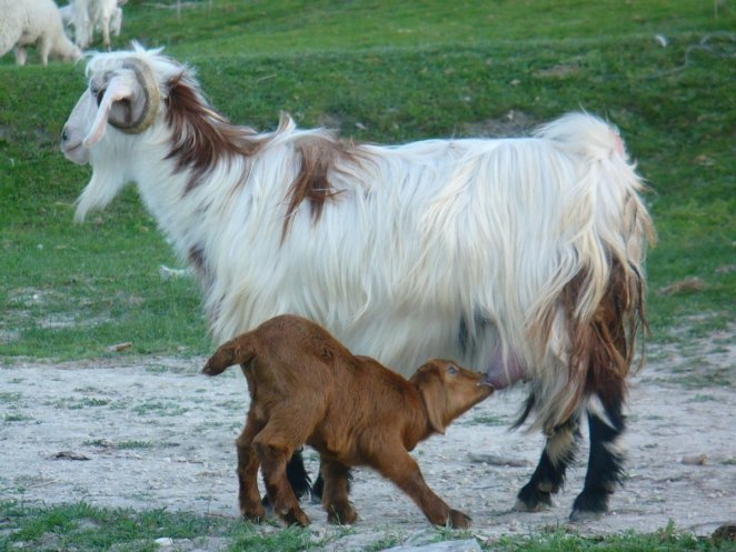 What is a Angora Goat #2