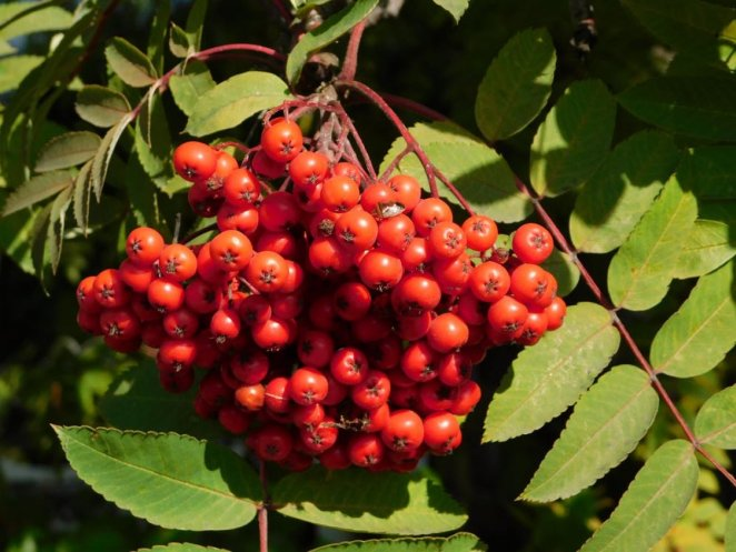 What is mountain ash #1