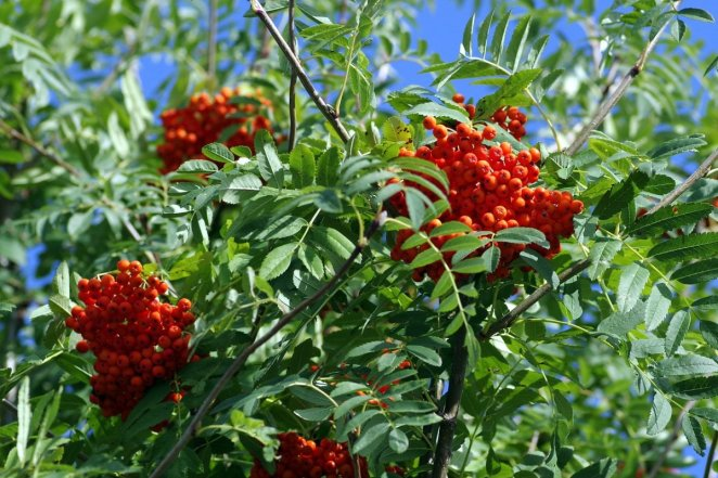 What is mountain ash #2