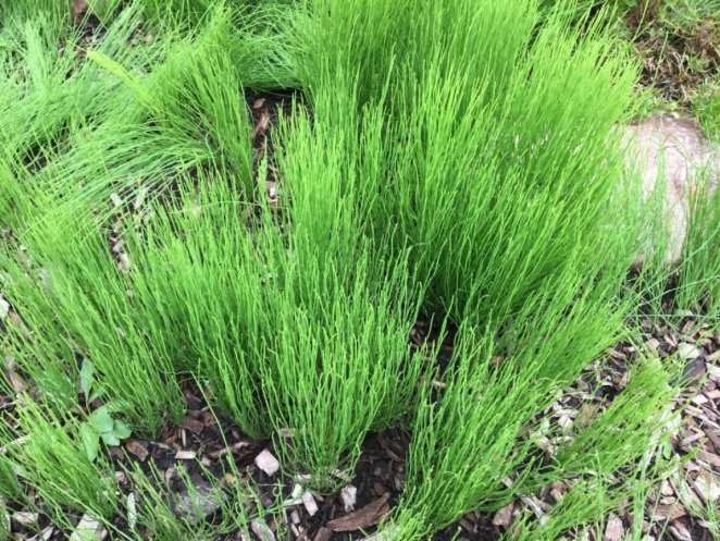 What is horsetail, what are its benefits?  How to use horsetail (Horsetail)?  #2nd