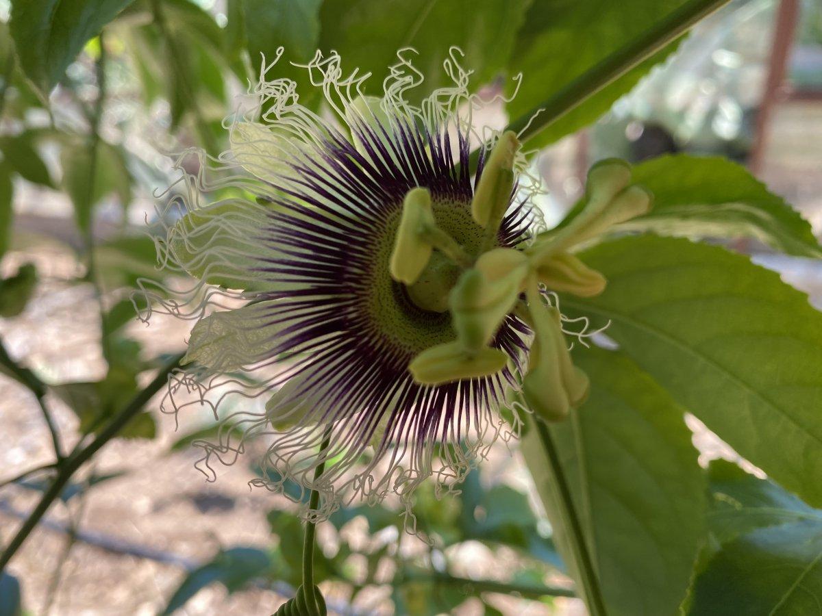 passiflora 7048