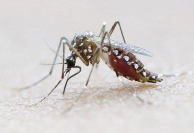 Asya Kaplan Sivrisineği nedir, nasıl anlaşılır? Tek bir ısırığı bile yaralıyor... #1