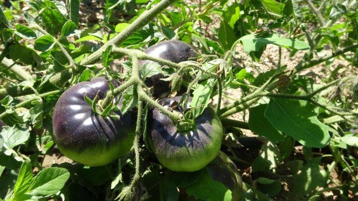 siyah domates 2649