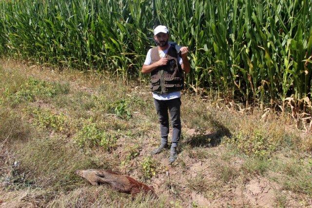 Sivas'ta domuzlar tarlaları talan etti, avcılar nöbet tuttu #8