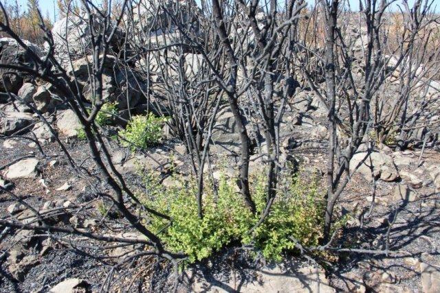 Bodrum'daki yangının ardından doğa kendini onarmaya başladı #6