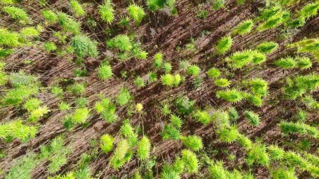 Samsun da yerli ve milli kenevirler hasat için gün sayıyor #1