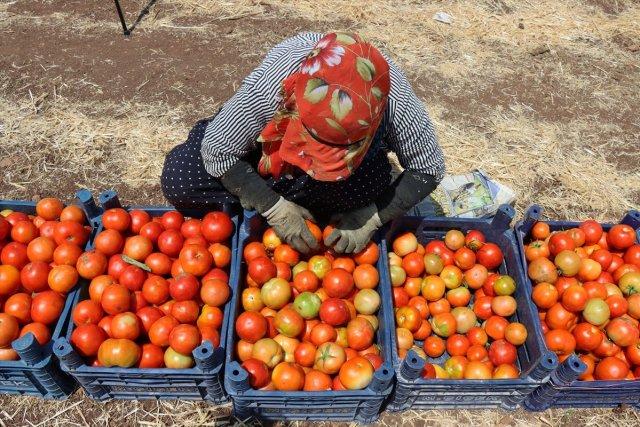 Türkiye nin domates ihracatı arttı #1