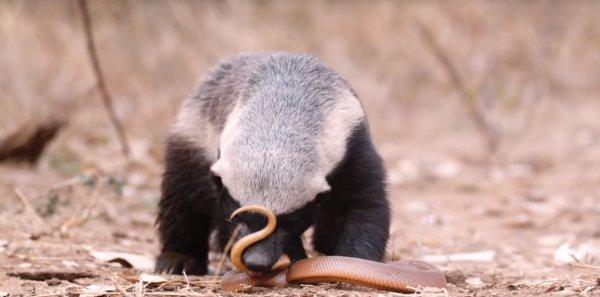 Bal porsuğu ve yılan karşı karşıya