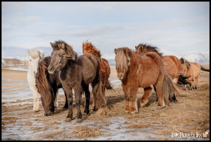 icelandic-horses-nearby-ion-hotel-selfoss-iceland-wedding