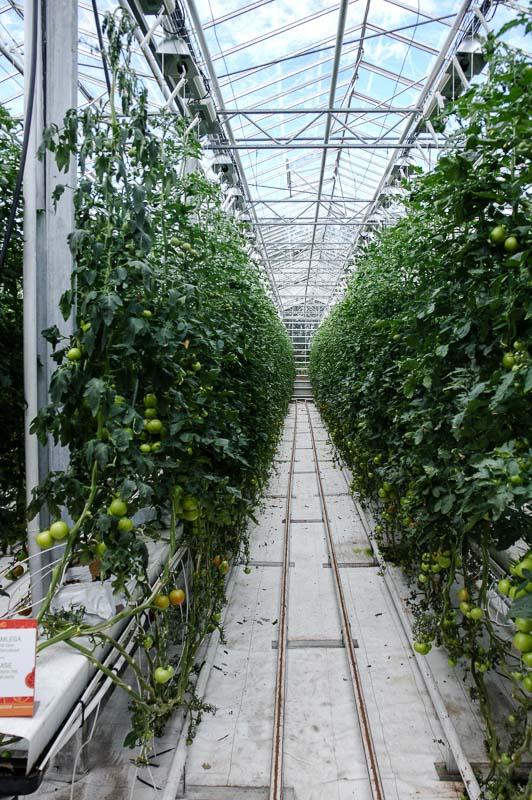 Friðheimar tomato plants