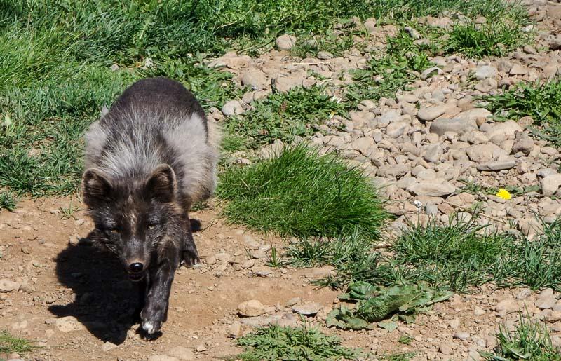 sudavik arctic fox_