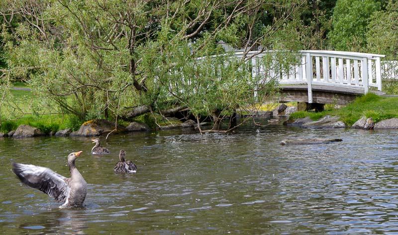 reykjavik botanical gardens goose