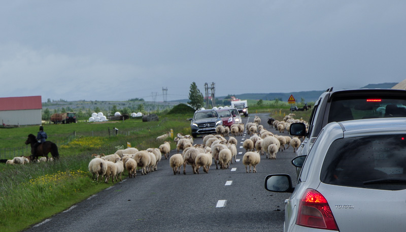 sheep on road 2 (1 of 1)