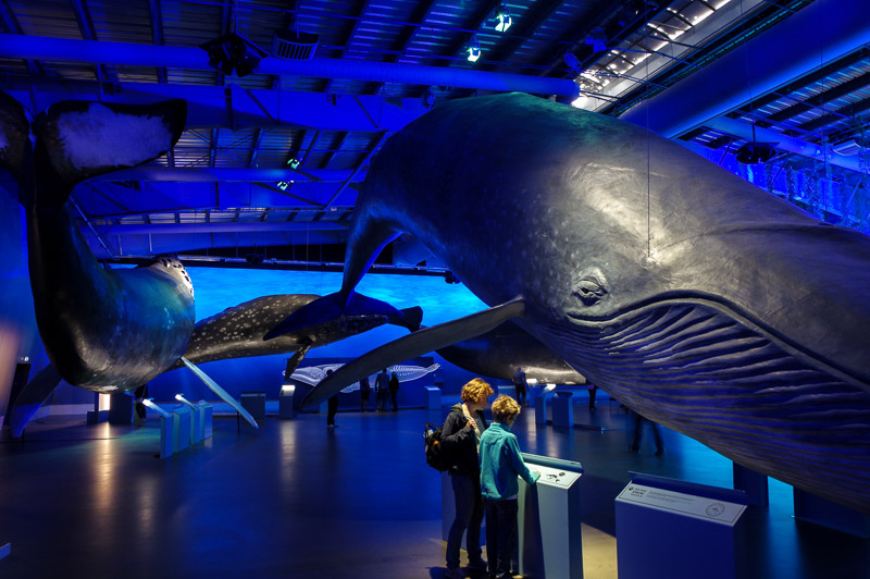 whale museum big whales