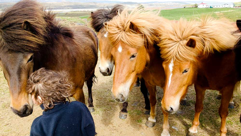 Icelandic Horses: How to see them and where to ride them